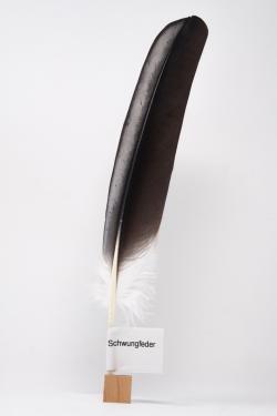 Feder vom Weißstorch - Schwungfeder - 00158