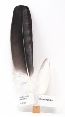 Feder-Set vom Weißstorch - Schwungfedern - 00161
