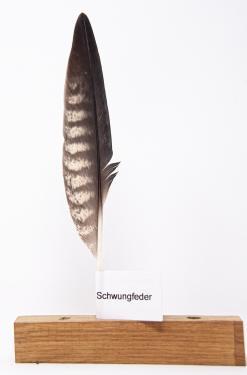 Feder vom Wanderfalke - Schwungfeder - 00244