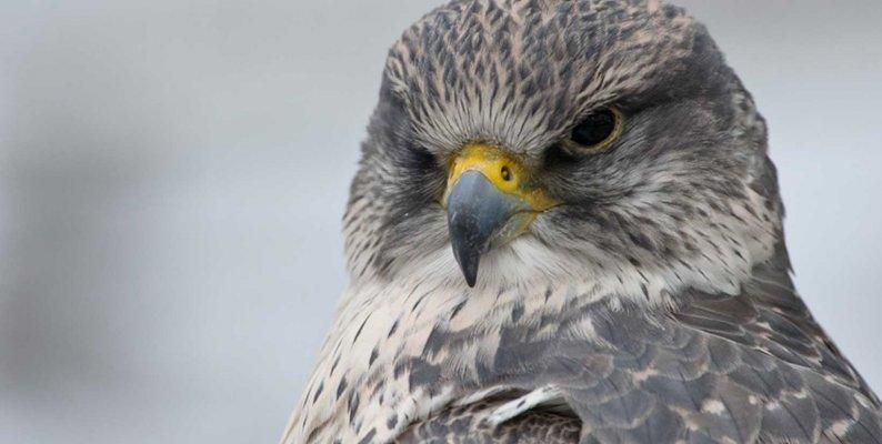 Falkenfedern