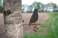Baumstecker Glücksvogel - Star - Edelrost - 23 cm