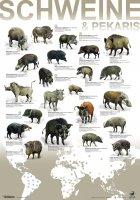 Artenplakat - Schweine und Pekaris - A2 - laminiert